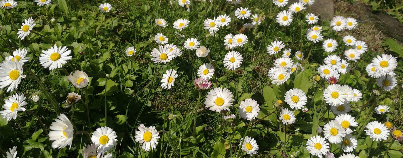 Gänseblümchen-Wiese